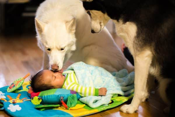 Boston newborn baby photography session with Siberian Huskies