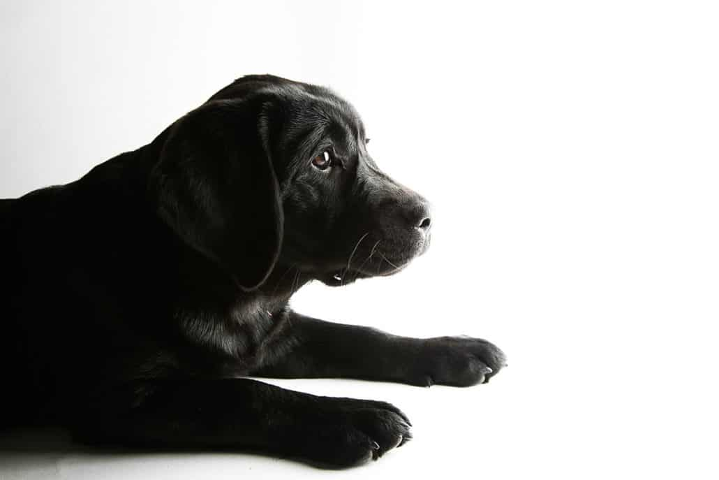 Rory-English-Labrador-boston-dog-family-photographer-promessa-studios-karen-0011-1030x687